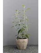 Peruanischer Salbei (Salvia discolor)