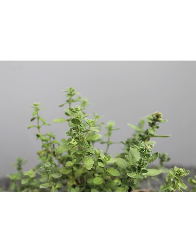Sommer-Majoran (Origanum majorana)