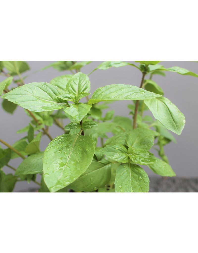 Zimt-Basilikum (Ocimum basilicum)