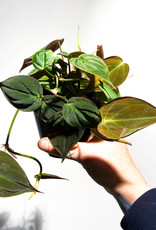 Philodendron micans (hederaceum var hederaceaum)