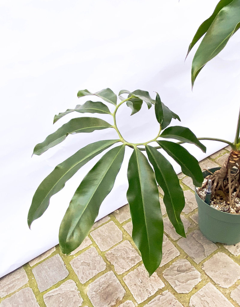 Philodendron fun bun 30
