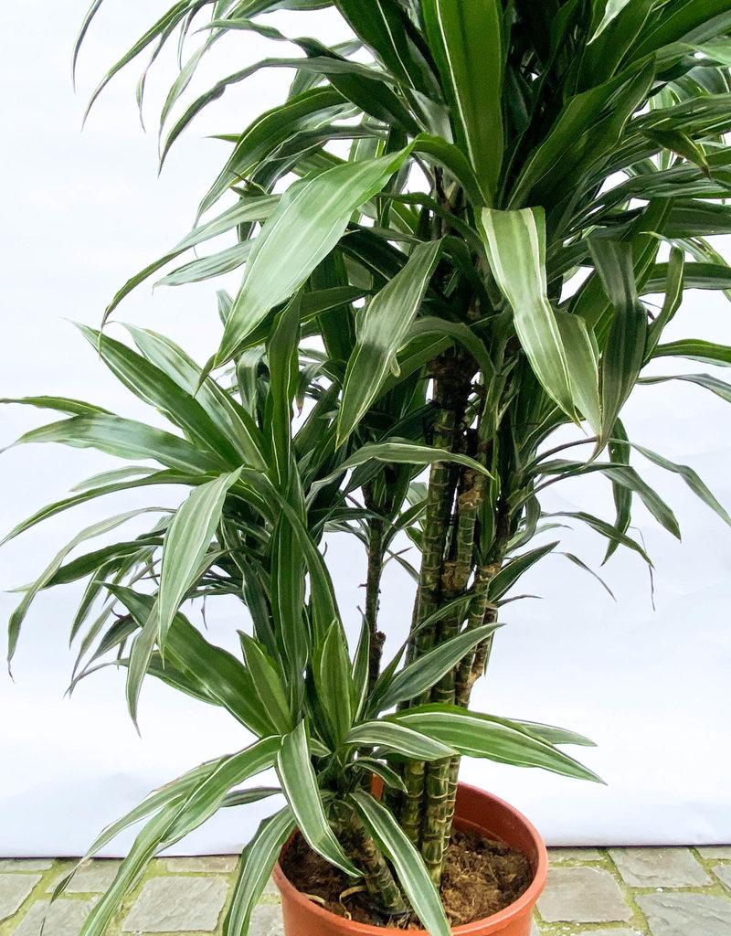 dracaena warneckii