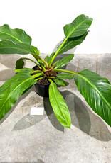 Philodendron melinoni x davidsonii