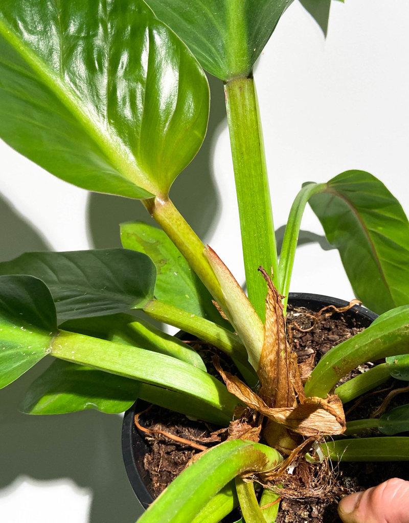 Philodendron Melinoni X Davidsonii 19 Rocco Pantalon