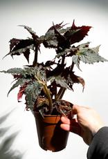Begonia black ta feta