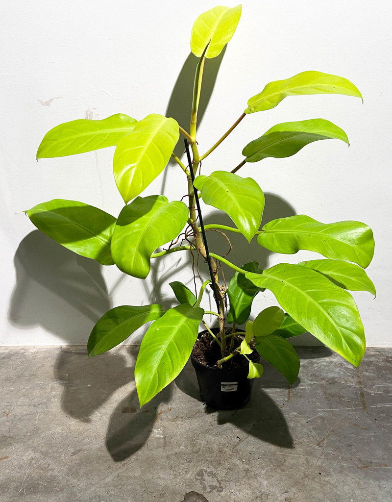 Philodendron maley gold