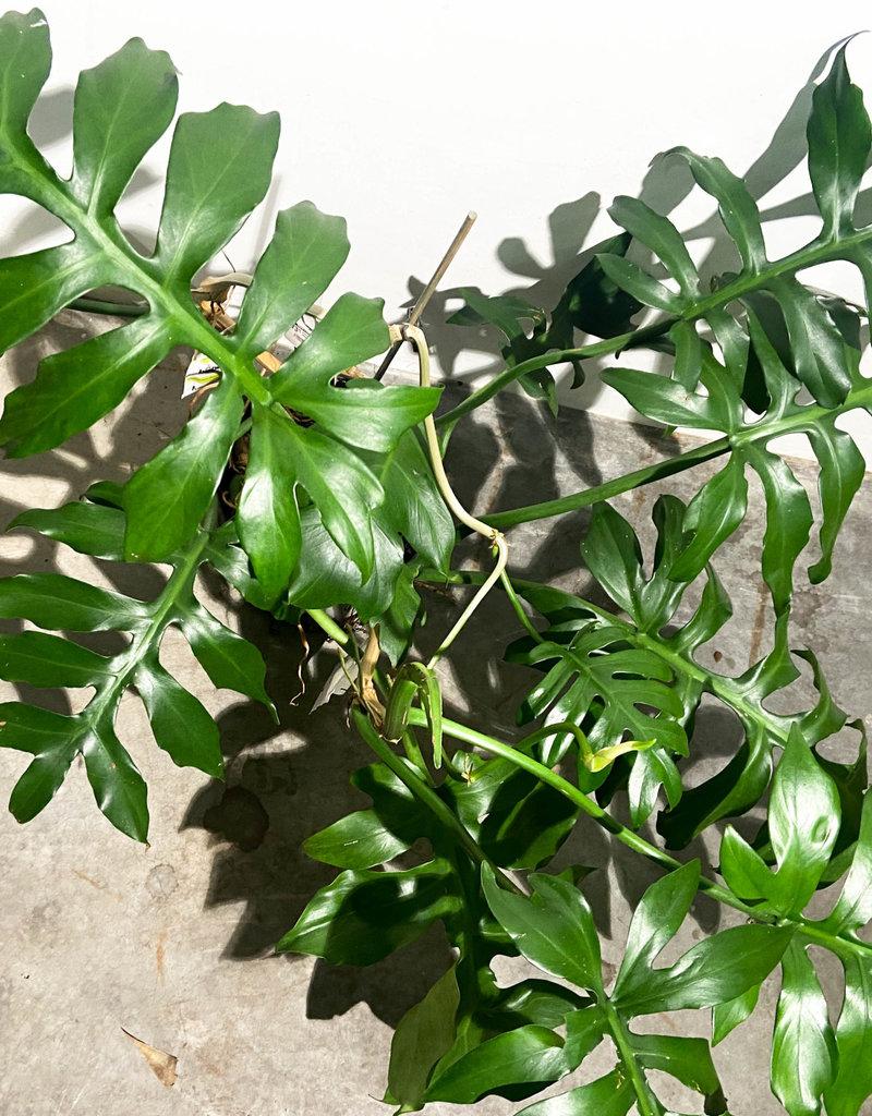 Philodendron distantilobum