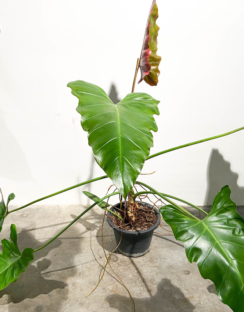 Philodendron weeks red