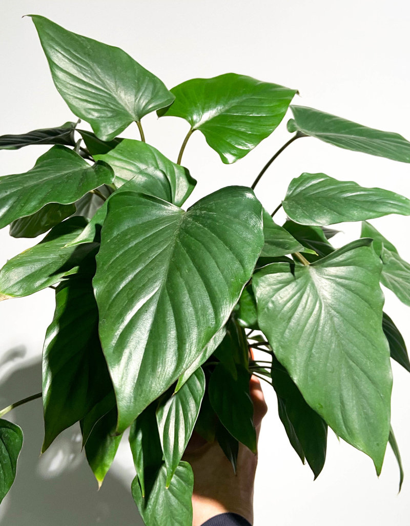 philodendron arrowhead