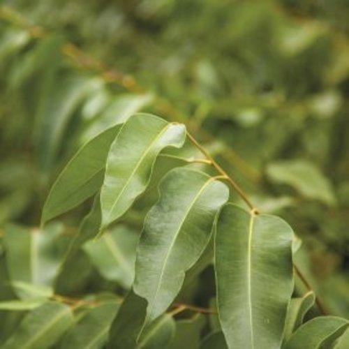 Lakshmi Eucalyptus Radiata (Australie, Bio) - Etherische Olie