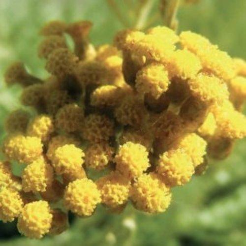 Lakshmi Helichrysum (Corsica, Demeter) - Etherische Olie