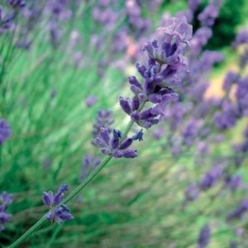 Lakshmi Lavendel, Spike (Spanje, Trad.) - Etherische Olie