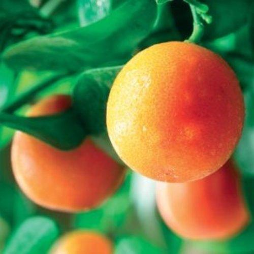 Lakshmi Sinaasappel (Italie, Bio) - Etherische Olie
