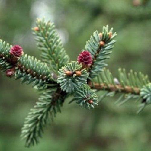 Lakshmi Picea Mariana (Canada, Wild) - Etherische Olie