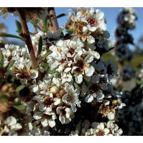 Lakshmi Fragonia (Australie, Bio) - Etherische Olie