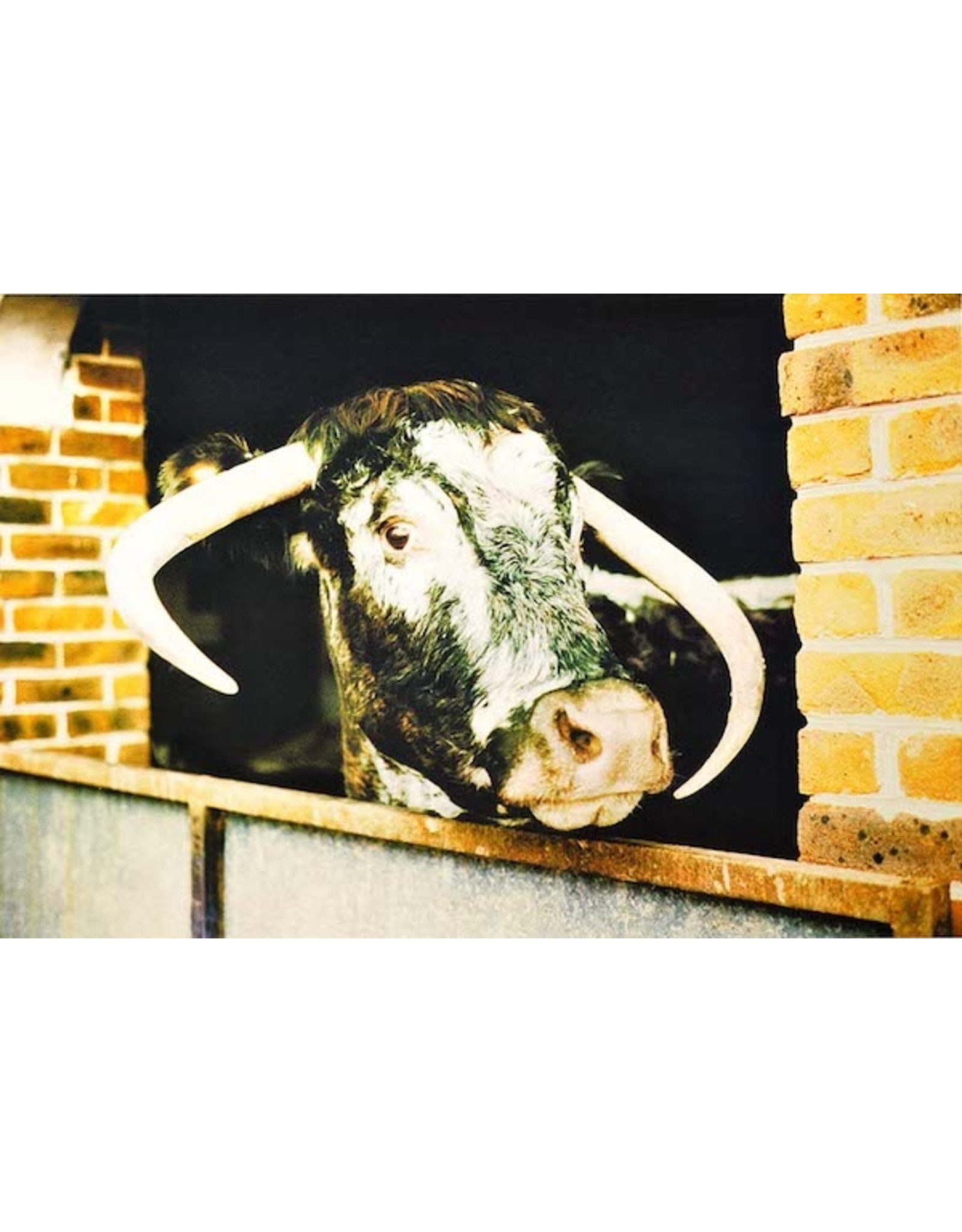 Gordon Trewinnard GordonTrewinnard, Cow, Eastern Europe