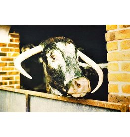 Gordon Trewinnard Gordon Trewinnard, Cow