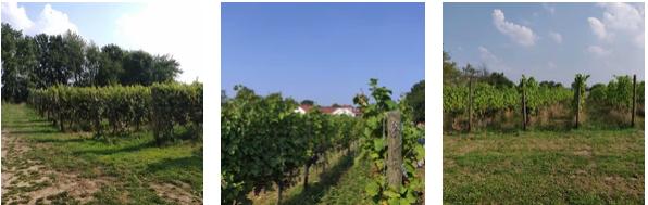 de biologische wijngaard van Colonjes Groesbeek