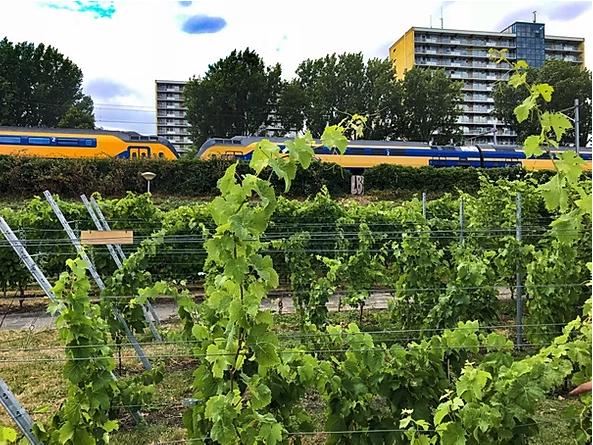 Haagse wijngaard