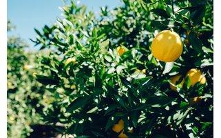 Iluigi - groen met citroen Tea