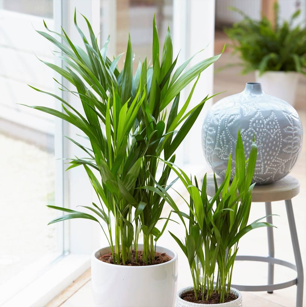 Afbeelding van Areca Palm - Set van 2