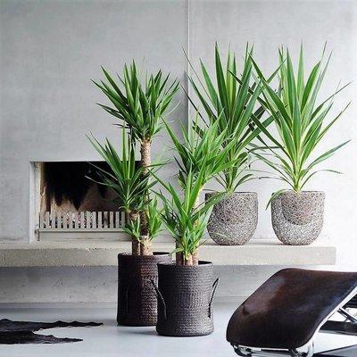 Yucca Kamerpalm