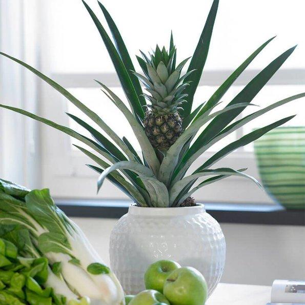 Ananasplant - Ruben