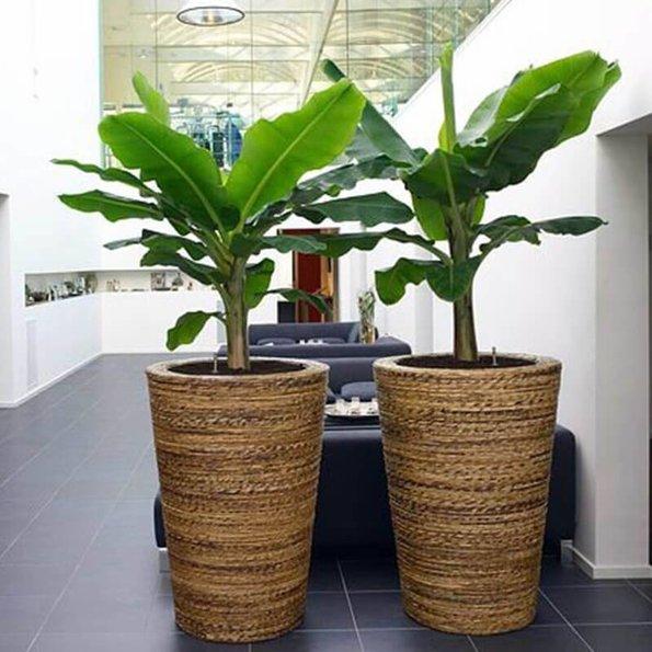 Bananenplant - Set van 2