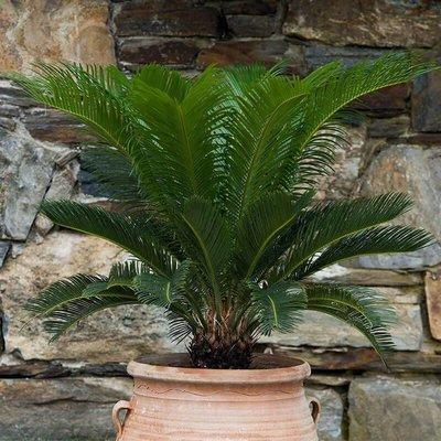 King Sago Palm - Set van 2