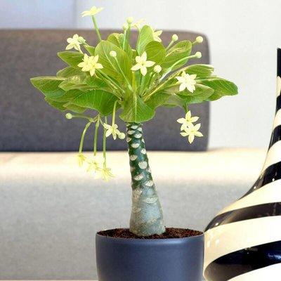 Brighamia Hawaii palm - Set van 2