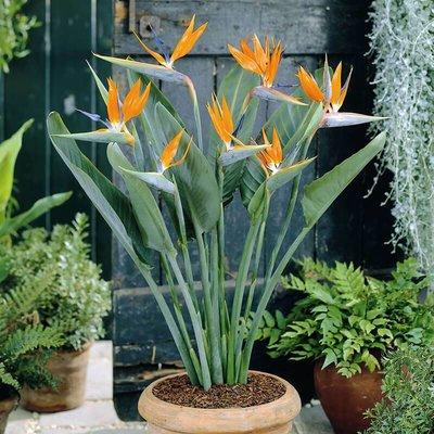 Strelitzia Paradijsvogelplant - Set van 2