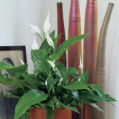 Spathiphyllum - Set van 2