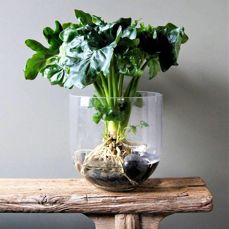 Productafbeelding voor 'Philodendron Atom - Set van 2'