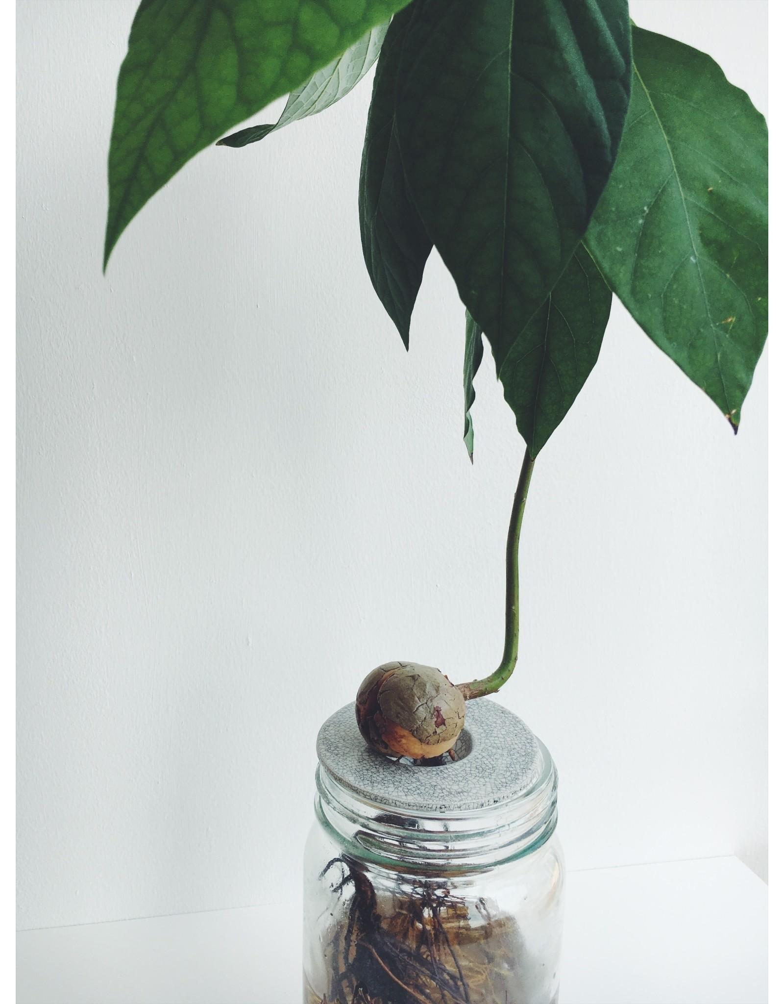Avocado Growing Kit