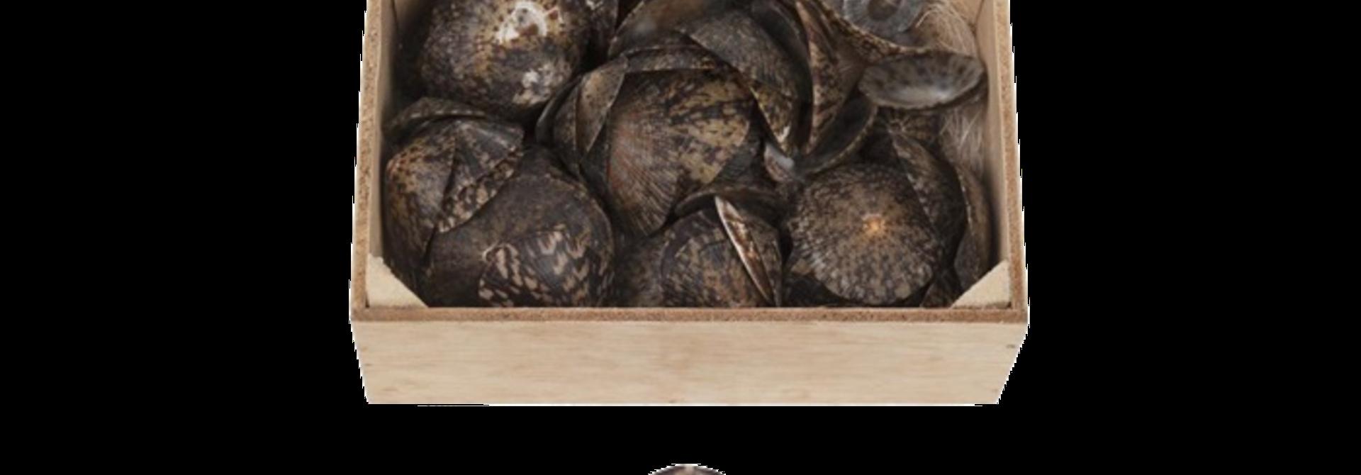 Casket oval limpet Shells