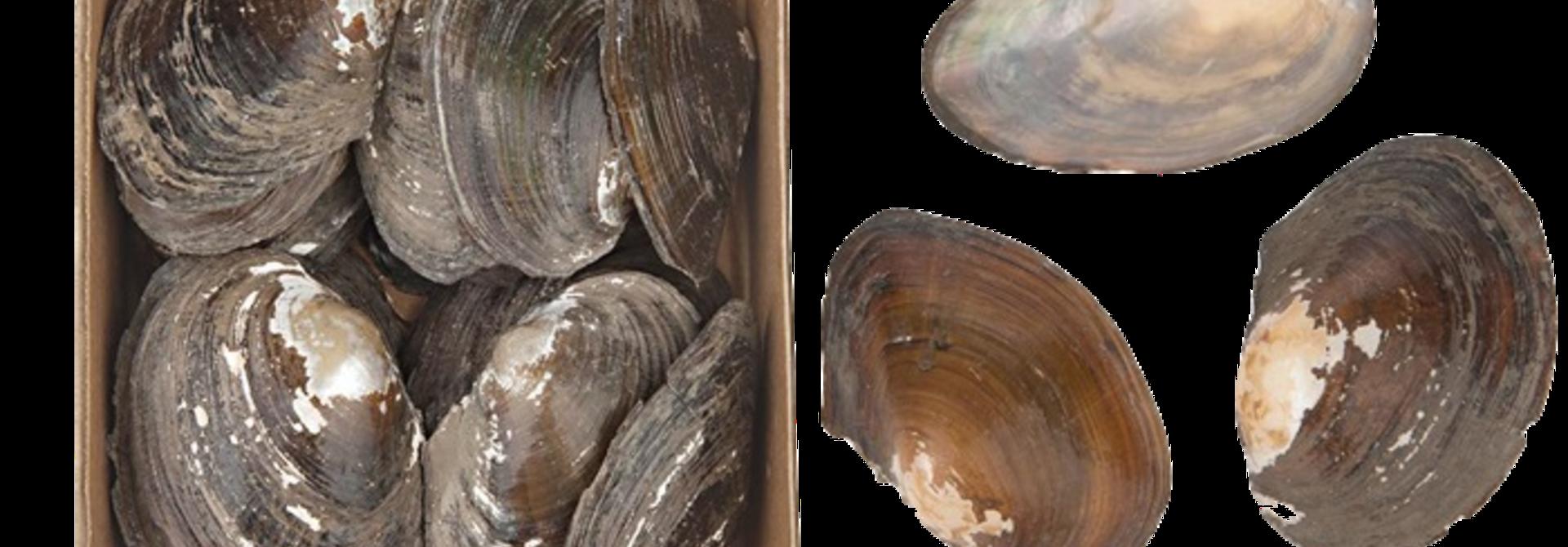 Annodonta Woodiana Shells