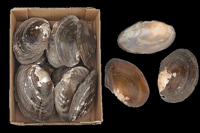 Annodonta Woodiana Shells-1