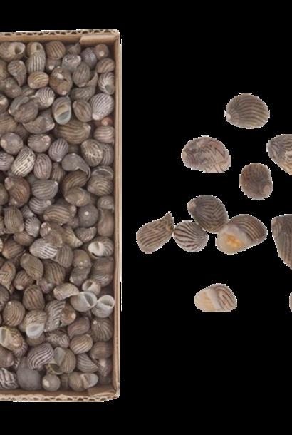Nerita Communis Shells