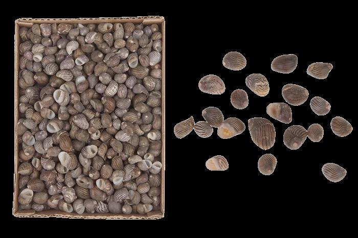 Nerita Communis Muscheln-1