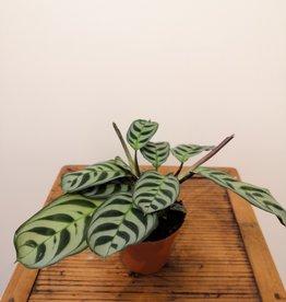 Calathea Calathea amabilis D12