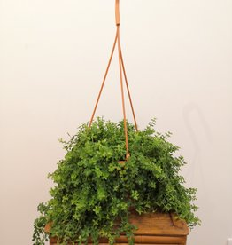 Peperomia Peperomia isabelle D18