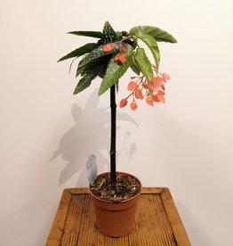 Begonia Begonia albo picta roze D12