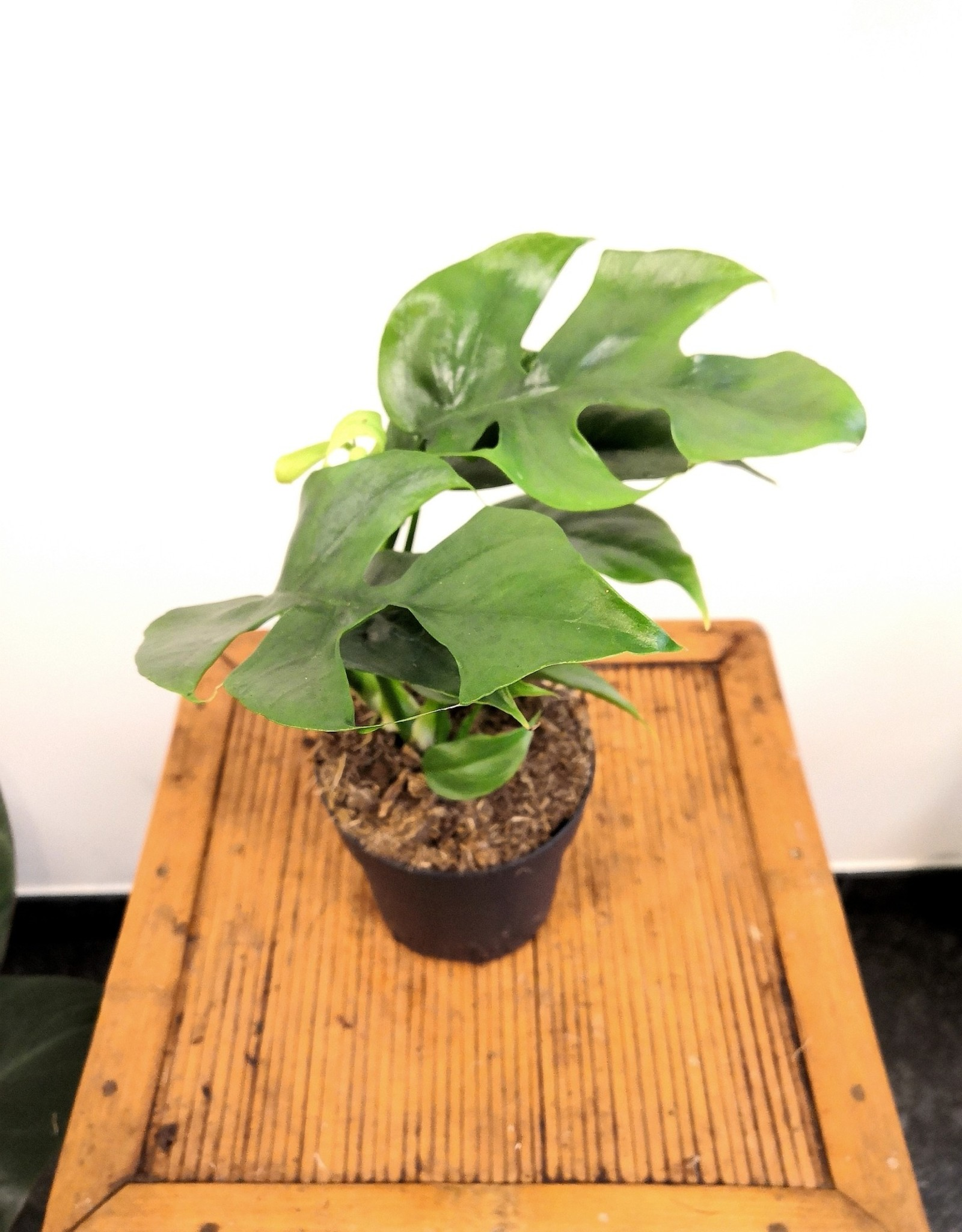 Philodendron Philodendron minima D11