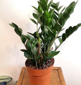 Zamioculcas Zamioculcas zamiifolia D17