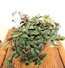 Tradescantia Trandescantia quadricolor D12