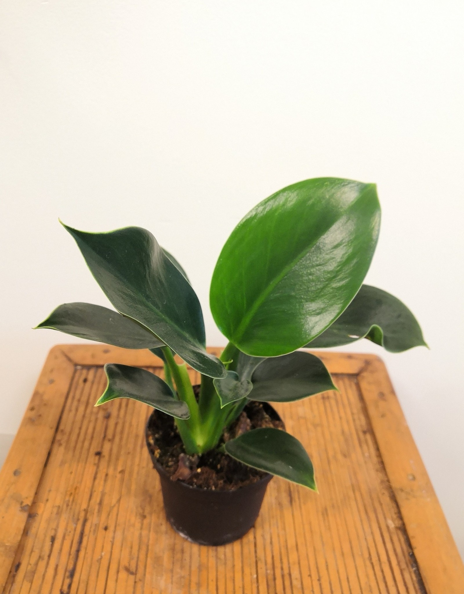 Philodendron Philodendron green princess D9