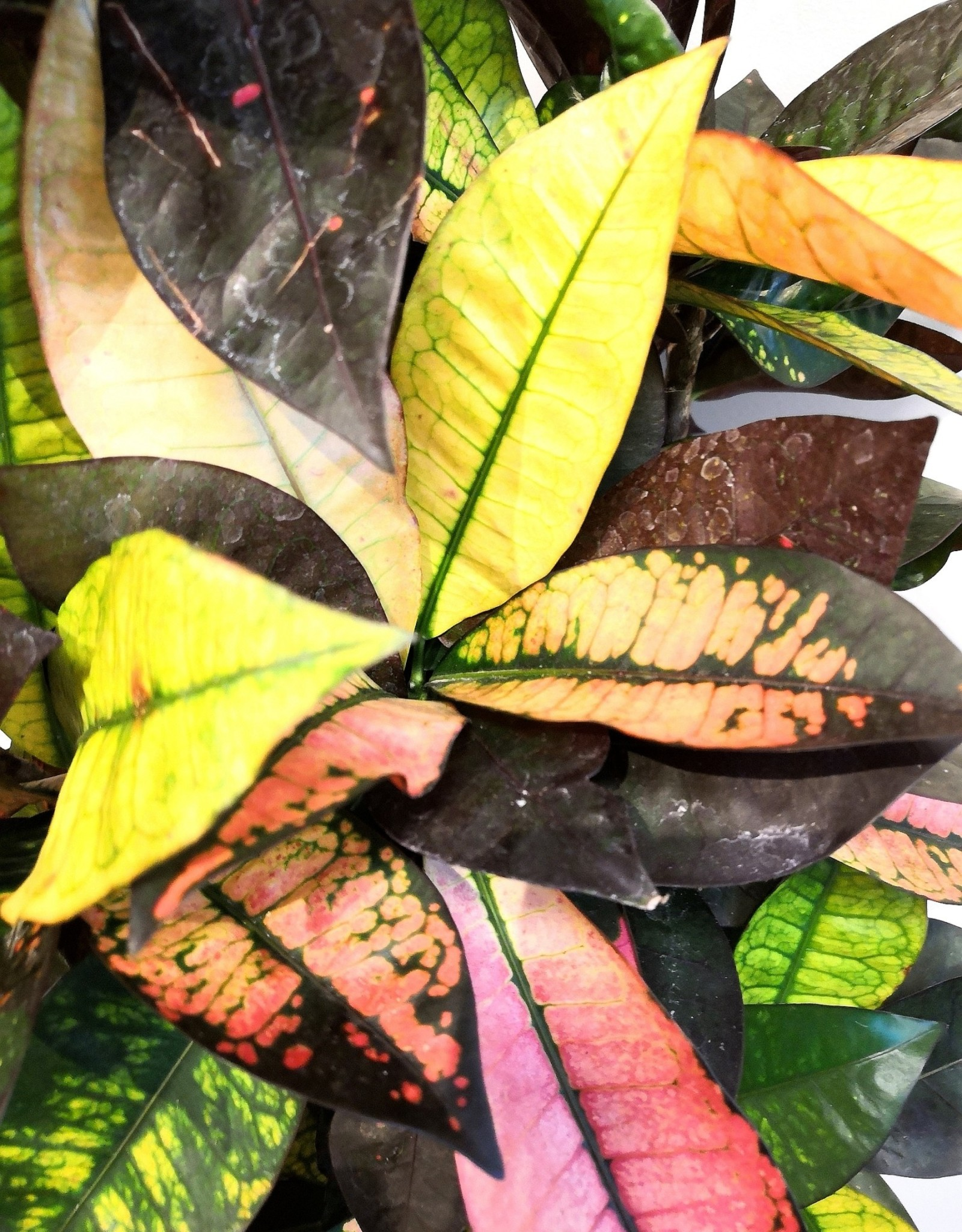 Croton Croton mrs iceton D27