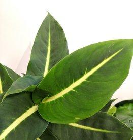 Dieffenbachia Dieffenbachia  green magic D12