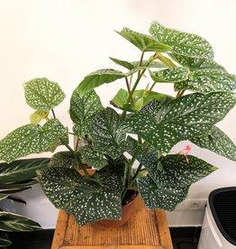 Begonia Begonia snowcap D14