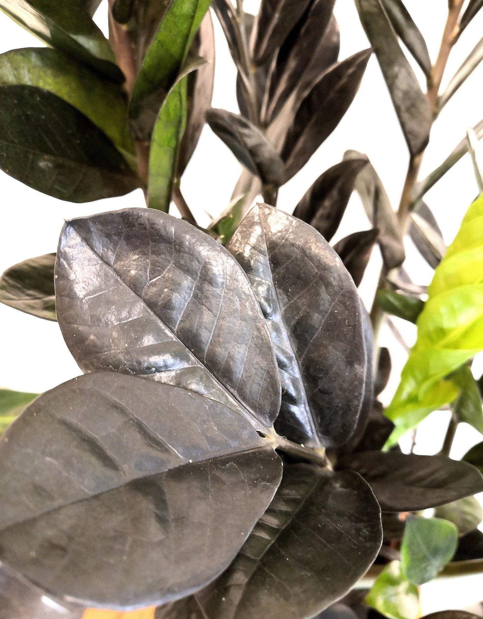 Zamioculcas Zamioculcas Raven D17
